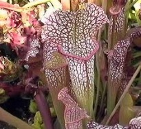 image of trumpet pitcher