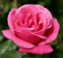 image of Rosa 'Pink Perpetue'