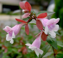 image of Abelia grandiflora