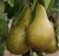 image of pear 'Conference'