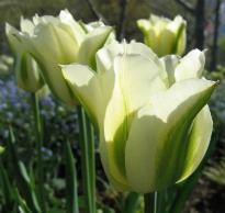 picture of Tulipa 'Spring green'