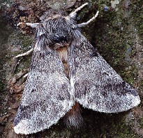 image of Oak Processionary Moth