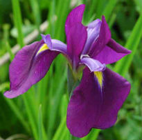 image of Iris ensata 'Japanese Water Iris'