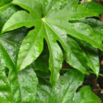 image of Fatsia japonica