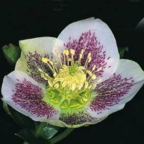 picture of Helleborous orientalis