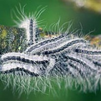 image of toxic caterpillars