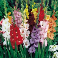 picture of Gladiolus