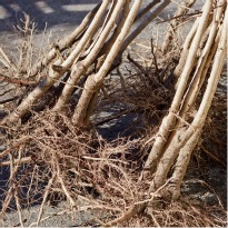 image of bare root trees