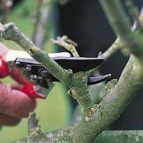 image of tree pruning with secateurs