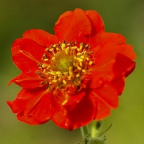 image of Geum 'Mrs Bradshaw'