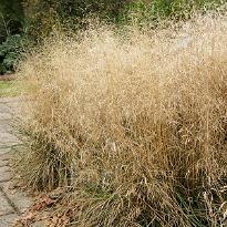 picture of Deschampsia cespitosa 'Goldtau'