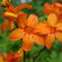 picture of Crocosmia 'Zambesi'