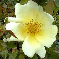 picture of Mermaid rose