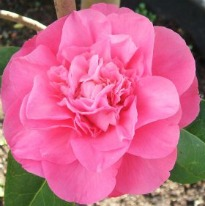 image of Camellia williamsii 'Debbie'