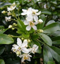 image of Choisya ternata (Mexican Orange Blossom)