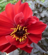 image of Dahlia 'Bednall Beauty'