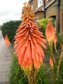 image of Kniphofia (Red Hot Poker)