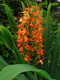 image of Hedychium, a.k.a. Ginger