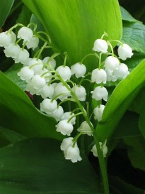 picture of Convallaria
