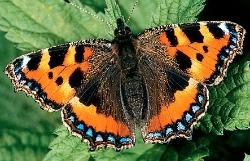 image of tortoiseshell butterfly