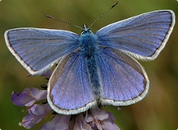 image of common blue butterfly