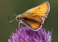 image of small skipper butterfly