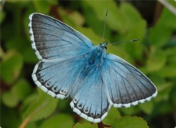 image of chalk hill blue butterfly