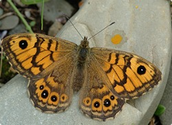 image of wall brown butterfly