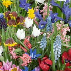 image of tulips, fritillaries, hyacinth, iris