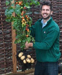 image of tomato potato hybrid