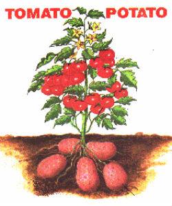 image of potato tomato hybrid