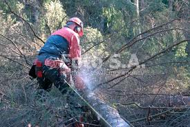 image of Logger cutting down conifers