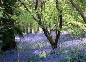 image of bluebell woodland scene