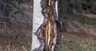 image of infected tree bark