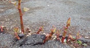 image of Knotweed growing through tarmac