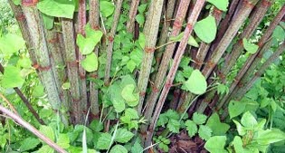 image of Knotweed canes