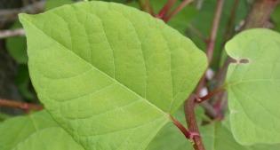 image of Knotweed foliage