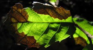 image of symptoms on leaf