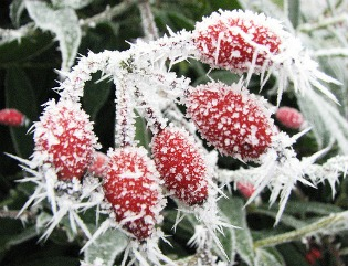 image of frost on berries