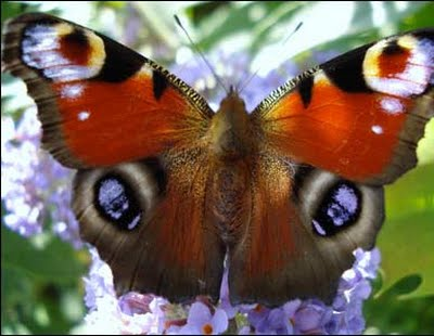 image of peacock butterfly