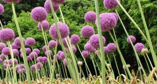image of allium