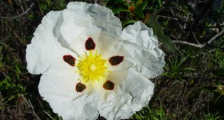 image of cistus or rock rose