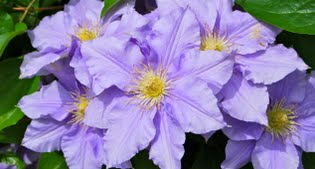 image of purple clematis