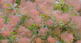 image of cotinus or smoke bush