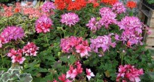 image of geranium