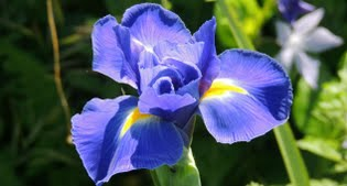 image of iris xiphium or dutch iris