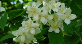 image of philadelphus or mock orange