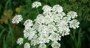 image of Cow parsley (Anthriscus sylvestris)