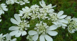 image of Orlaya grandiflora,