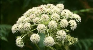 image of Angelica